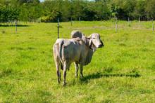 Humped Bull (Zebu Species) In ...