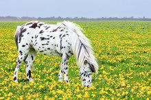 Spotted Horse Grazing In Bloom...