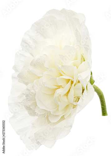Fototapety, obrazy: White flower of mallow, isolated on white background