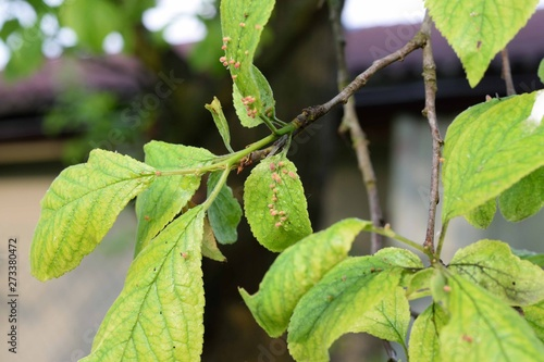 Photo Galls on plum leaves, damaged by acari
