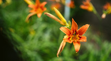 Orange Lily Bloom In The Grass After The Rain. Fresh Lily In The Spring Garden.