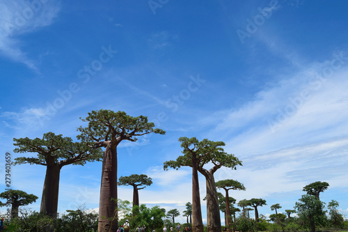 Poster Baobab バオバブの木