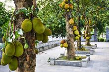 Fresh Jackfruit On The Tree In Vietnam Tam Coc.