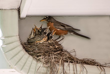 A Mother Robin Is Taking Care ...