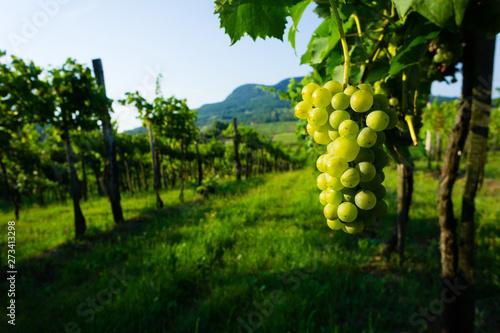 Photo sur Aluminium Vignoble wine grapes in vineyard sunrise, Badacsony hill at background, Hungary