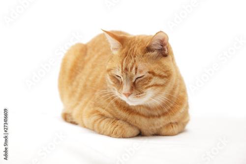 Fototapeta 香箱座りの猫 obraz
