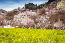 Hanamiyama Park Is Famous Duri...