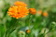Pot Marigold (Calendula Offici...