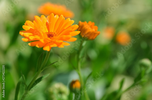 Pot Marigold (Calendula officinalis) on blur background Canvas Print