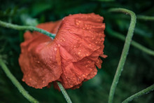 A Scarlet Poppy Bowed His Head Under Raindrops