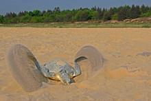 Olive Ridley Turtle Digging Nest