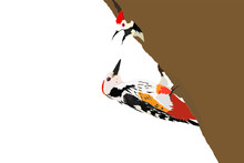 Mother Woodpecker And Baby Woodpecker. Vector Image. White Background.