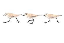 Walking Birds. Cute Bird Walki...