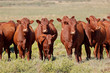 canvas print picture - Small herd of free-range cattle on a rural farm, South Africa.