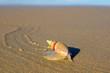 canvas print picture - Plough snail (Bulliua digitalis), a species of sea snail, on the beach, South Africa .