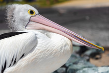Side Image Of An Australian Pelican With Its Beak Resting On Its Protruded Chest. Patiently Waiting For The Next Meal