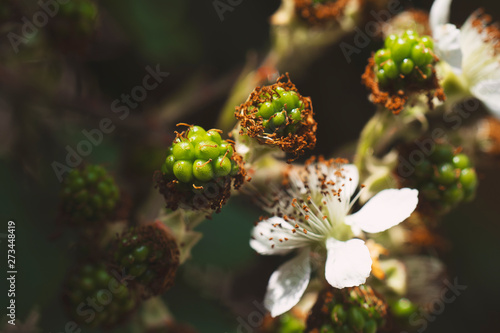 Blackberry flowering bush with green berries  Pink flowers