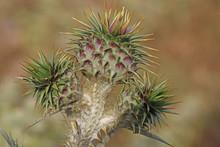 Camel Thorns ; Silybum Marianu...