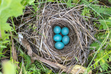 Natural Nest And Blue Eggs Of A Song Thrush In The Meadow. View From Above