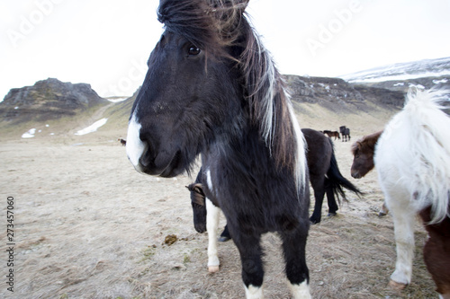 Photo Stands Ass wild iceland horses with snow