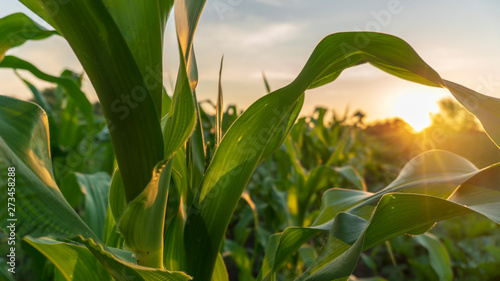 corn and sun close up Canvas Print