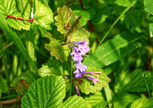 Purple Wild Flower Bugle, Part Of The Dead Nettle Family Ajuga Reptans