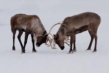 Two Reindeers Playing, Fightin...