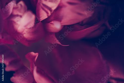 Closeup vintage image of beautiful dark pink peon Canvas-taulu