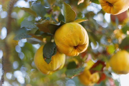 Fresh ripe quince fruits on branch Poster Mural XXL