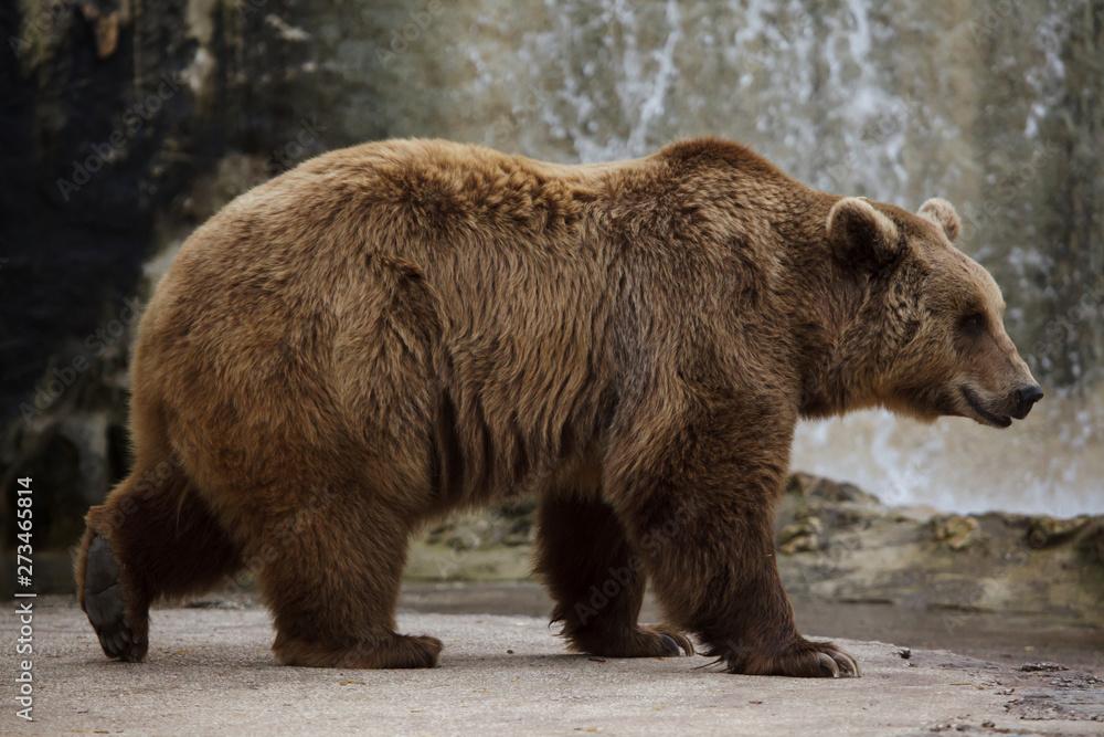Fototapety, obrazy: Brown bear (Ursus arctos).