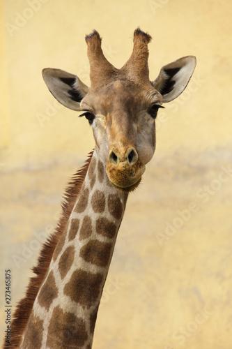 Angolan giraffe (Giraffa camelopardalis angolensis) Canvas Print