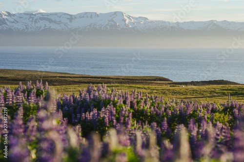 Foto auf AluDibond Dunkelgrau Blooming violet/purple Lupine flowers and snow covered mountains on background while sunset. Scenic panorama view of Icelandic landscape. Húsavík, North Iceland.
