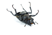 Dead Female Stag Beetle, Lucan...