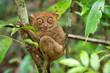 Philippine Tarsier in Its Natural Habitat in Bohol, Philippines