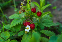 Small Wild Strawberry Bush With Flower And With Ripe Red Berries And Green Leaflets