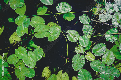 Fototapeta a lot of lily pad leaves in a pond on blue water