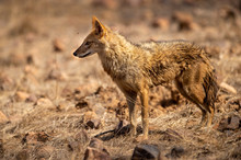 Indian Jackal Or Canis Aureus Indicus Calmly Walking And Observing The Behavior Possible Prey At Ranthambore Tiger Reserve, Rajasthan, India
