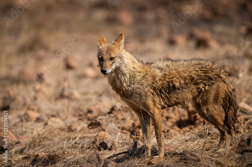 Photo  Indian Jackal or Canis aureus indicus calmly walking and observing the behavior