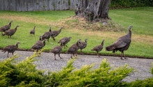 A Female Wild Turkey And Her Large Brood Of Chicks Stroll Through A Rural Neighborhood In The Hills Of Monterey,  Along The Central Coast Of California.