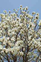 Magnolia Tree White Flowers Blooming At Blue Sky Background In The Park In South Korea, Branches Growing High