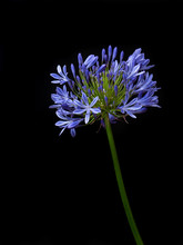 Agapanthus Or Lily Of The Nile...