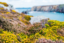 Heather And Yellow Gorse Flowe...