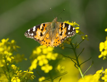 Painted Lady (Vanessa Cardui) Butterfly On The Rapeseed