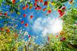 canvas print picture - wildes Mohnblumenfeld und Sonne