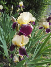 Close-up View Of A Two Tone Flower Garden Iris Purple And Pale  Yellow