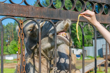 The Hand Of A Zoo Visitor Through The Rusty Fence Feeds The Camel Bananas