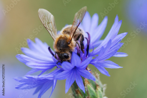 Foto auf Leinwand Bienen Bee sitting on the blue bachelor button flower