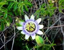 Flowering Plant Passiflora Cae...