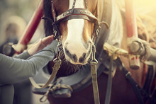 The Muzzle Is Draught Horse Harnessed To A Carriage