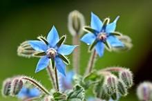 Borage Borago Officinalis Starflower Edible Flower With Bright Blue Petals On Natural Green Background